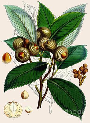 Greenery Drawing - Quercus Lamellosa by Joseph Dalton Hooker