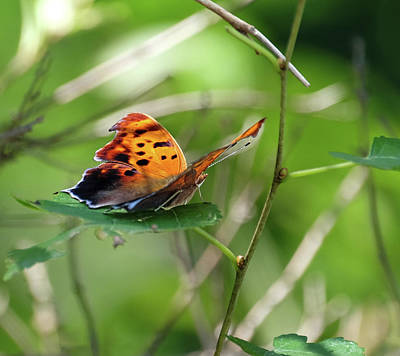 Photograph - Question Mark Butterfly by Ronda Ryan