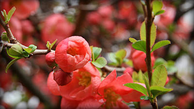 Photograph - Quince Blossoms by Katie Wing Vigil