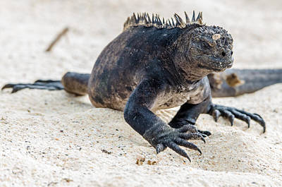 Photograph - Rabida Marine Iguana by Harry Strharsky