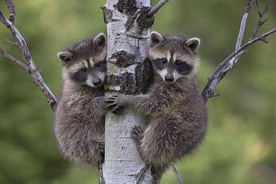 Carnivore Photograph - Raccoon Two Babies Climbing Tree North by Tim Fitzharris