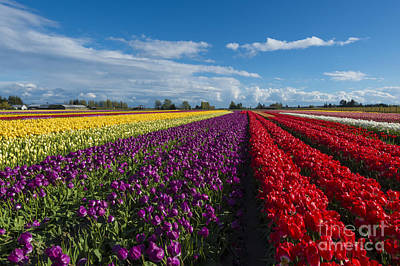 Skagit Photograph - Rainbow Fields by Mike Dawson