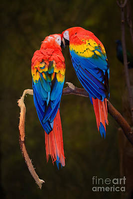 Princess Diana - Rainbow Macaw Parrots by Robert Gaines
