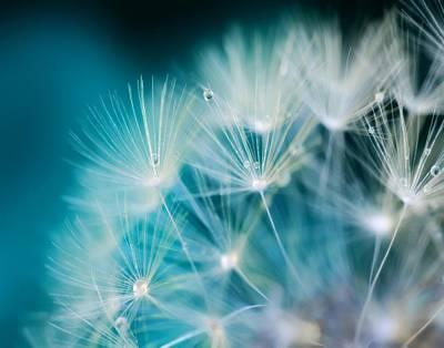 Photograph - Raindrops On Dandelion Sea Blue  by Marianna Mills