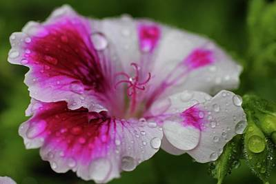 Photograph - Raindrops On Petals by Michiale Schneider