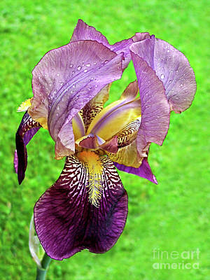Photograph - Raindrops On Purple And Yellow Iris by Jenness Asby