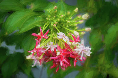 Photograph - Rangoon Creeper Vine,chinese Honeysuckle,combretum Indicum 001 by Rich Franco