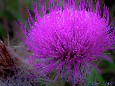 Rare Purple Blooming Pitcher's Thistle Original by Richard Ackerman