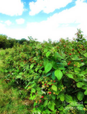 Photograph - Raspberry Fields 2  by September  Stone