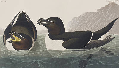 Razorbill Drawing - Razor Bill by John James Audubon