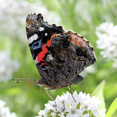 Photograph - Red Admiral Butterfly by Doris Potter