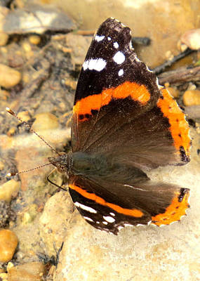 Photograph - Red Admiral by Frank Townsley