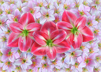 Fairy Hearts Pink Flower Photograph - Red Amaryllis by Edwin Verin