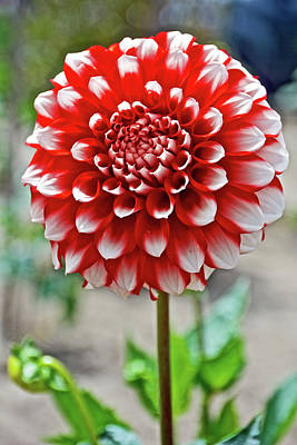 Photograph - Red And White Dahlia In Golden Gate Park In San Francisco, California  by Ruth Hager
