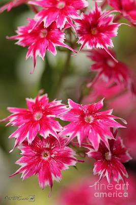 Photograph - Red And White Dwarf Twinkling Beauty Phlox by J McCombie
