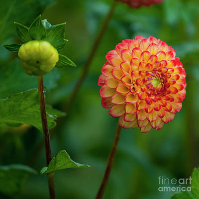 Red And Yellow Dahlia - Square Art Print