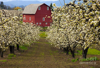 Pear Blossoms Wall Art - Photograph - Red Barn Spring by Mike Dawson