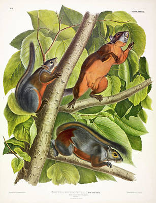 Red Squirrel Wall Art - Painting - Red-bellied Squirrel by John James Audubon