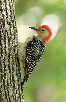 Photograph - Red-bellied Woodpecker by Jim Zablotny