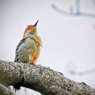 State Photograph - Red Bellied Woodpecker by LeeAnn McLaneGoetz McLaneGoetzStudioLLCcom