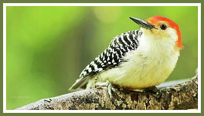Red Bellied Woodpecker, Male, Animal Portrait Art Print