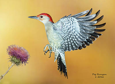 Photograph - Red-bellied Woodpecker by Peg Runyan