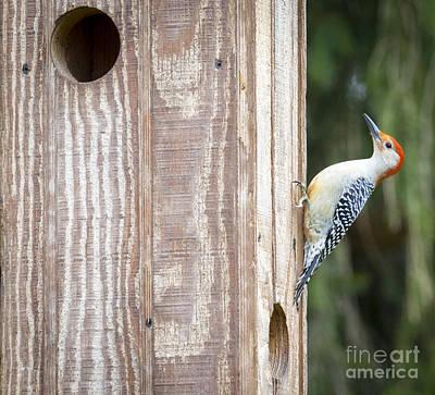 Photograph - Red-bellied Woodpecker by Ricky L Jones