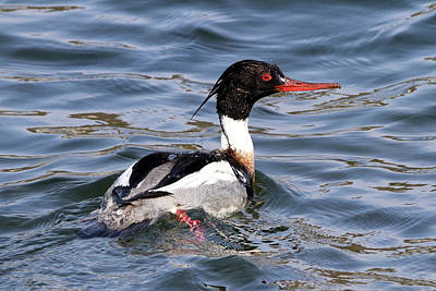 Photograph - Red-breasted Merganser Centerport New York by Bob Savage