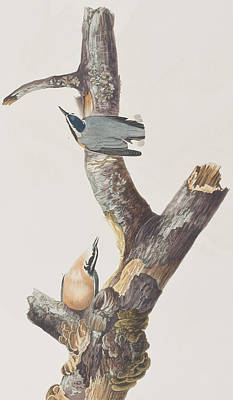 Nuthatch Painting - Red Breasted Nuthatch by John James Audubon