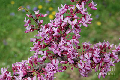 Photograph - Red Bud Spring By Jrr by First Star Art