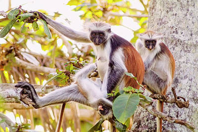 Photograph - Red Colobus Monkeys by Amyn Nasser