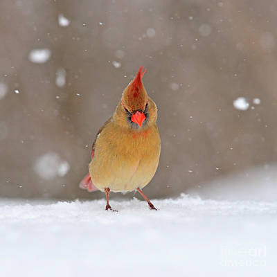 Photograph - Red Crest by Joshua McCullough