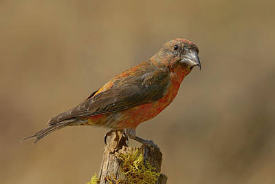 Photograph - Red Crossbill by Doug Herr
