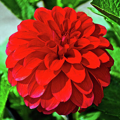 Photograph - Red Dahlia In Golden Gate Park In San Francisco, California  by Ruth Hager