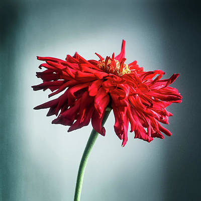 Photograph - Red Dahlia by John Brink