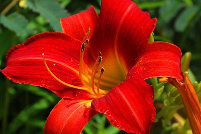 Photograph - Red Daylily by Kathryn Meyer