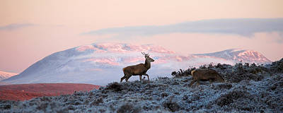 Photograph - Red Deer, Ben Wyvis by Gavin Macrae