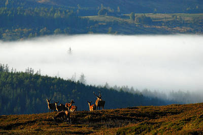 Photograph - Red Deer In Strathglass by Gavin MacRae