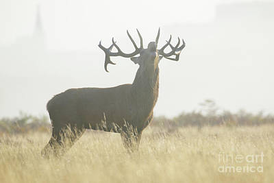 Red Deer Stag - Cervus Elaphus - Bellowing Or Roaring On A Misty M Art Print