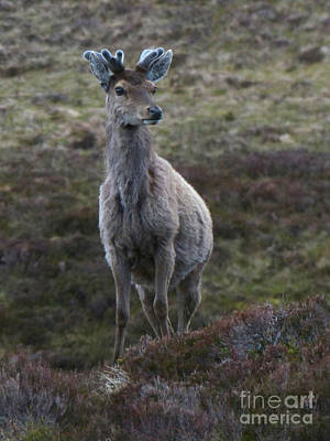 Photograph - Red Deer Stag - Early June by Phil Banks