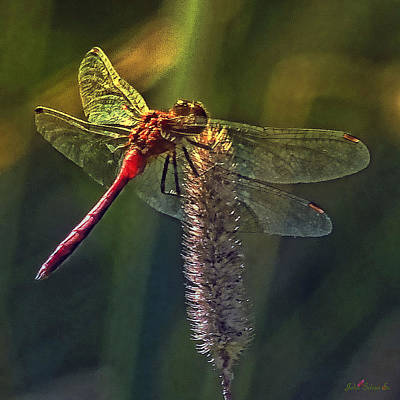 Photograph - Red Dragonfly by John Selmer Sr