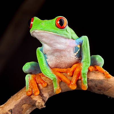 Photograph - Red Eyed Tree Frog by Dirk Ercken