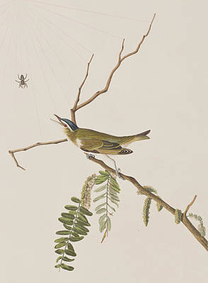 Spider Drawing - Red Eyed Vireo by John James Audubon