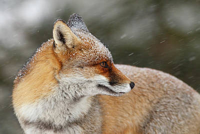 Wildlife Celebration Photograph - Red Fox In A Snow Storm by Roeselien Raimond