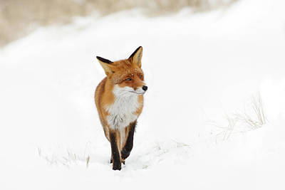 Red Fox In A White Winter Wonderland Art Print