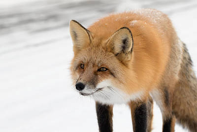 Prince Albert National Park Photograph - Red Fox In Winter by Nick Saunders