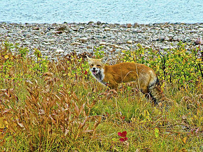 Photograph - Red Fox Near Jackson Lake In Grand Tetons National Park, Wyoming by Ruth Hager