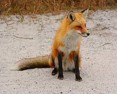 Photograph - Red Fox 3 by Raymond Salani III