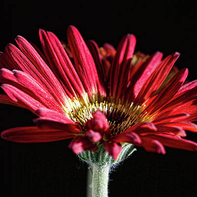 Photograph - Red Gerbera 1 by Steve Purnell