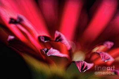 Photograph - Red Gerbera 2 by Steve Purnell
